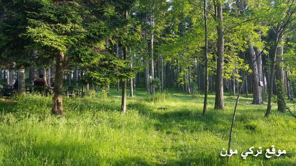 غابات الصنوبر في جبل بوزتبة في طرابزون